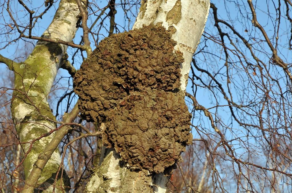Foto/billede af Agrobacterium tumefaciens (Agrobacterium tumefaciens)
