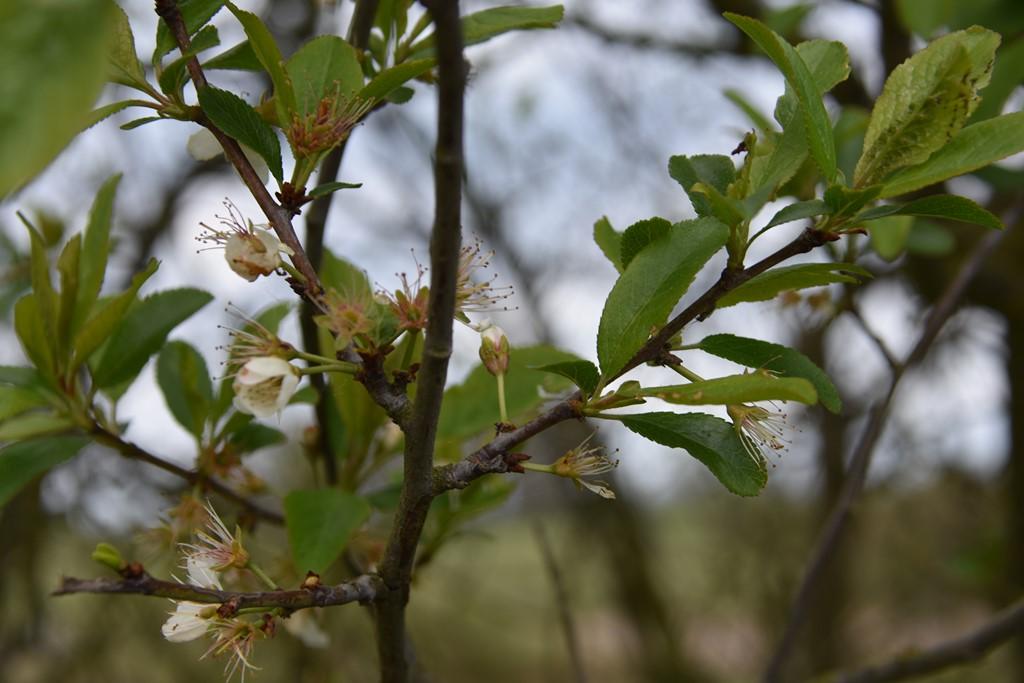 Prunus domestica ssp. insititia x spinosa