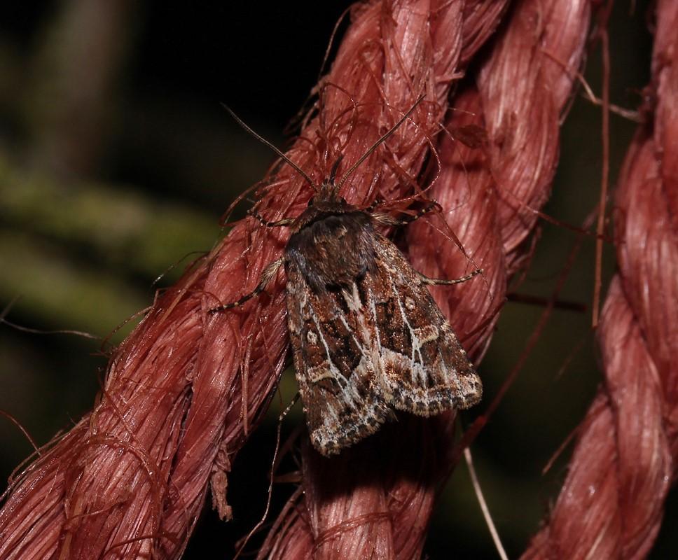 Sivstråugle (Celaena haworthii)