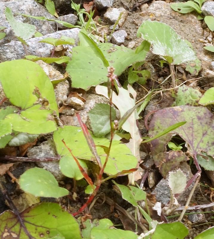Foto/billede af Liden Pileurt (Persicaria minor)