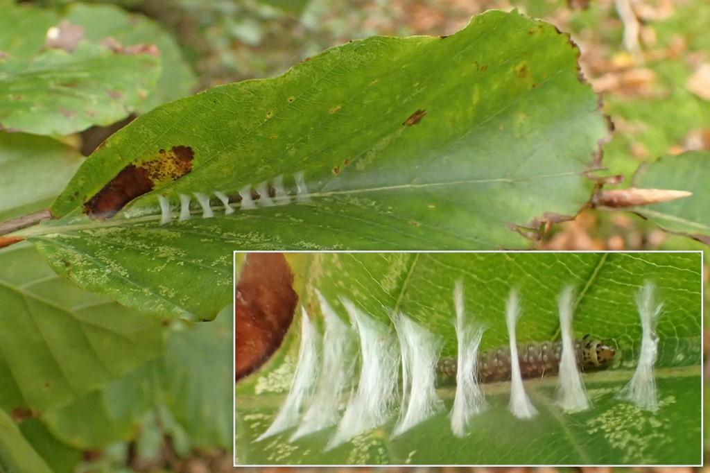 Ancylis mitterbacheriana