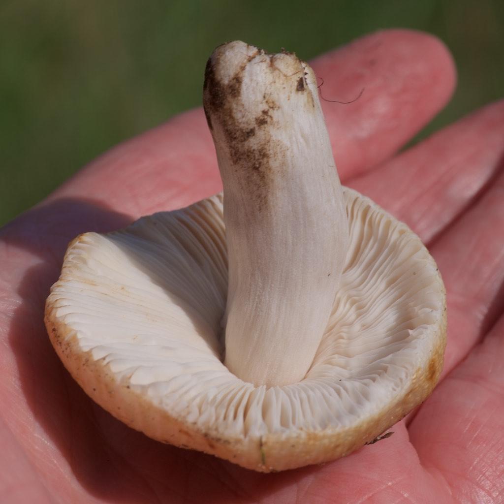 Mild Kam-Skørhat (Russula pectinatoides)