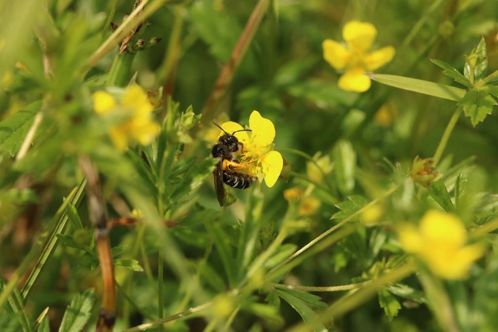Foto/billede af Tormentiljordbi (Andrena tarsata)