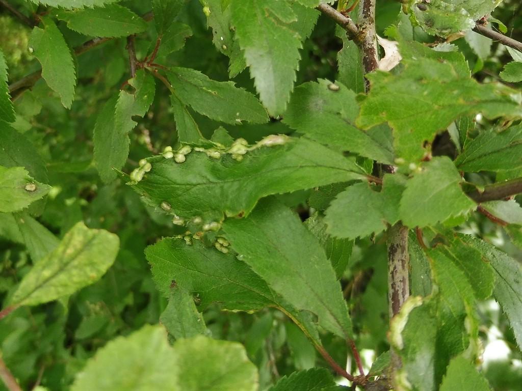 Foto/billede af Blommepunggalmide (Eriophyes similis)
