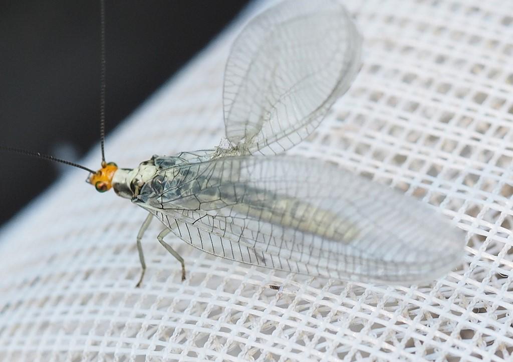 Foto/billede af Nothochrysa fulviceps (Nothochrysa fulviceps)