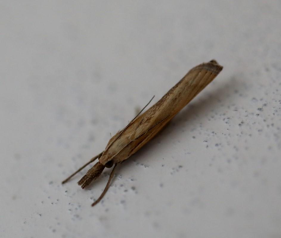 Foto/billede af Agriphila inquinatella (Agriphila inquinatella)