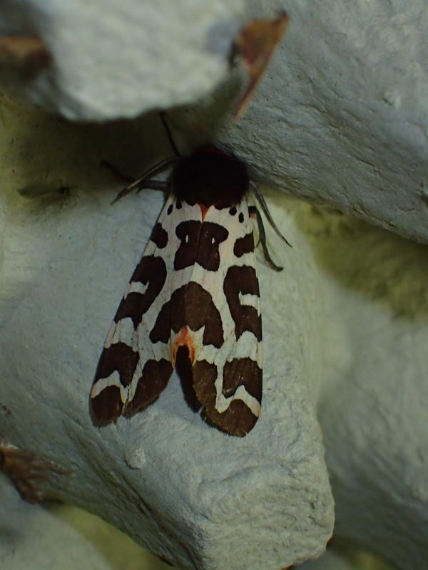 Brun Bjørnespinder (Arctia caja)