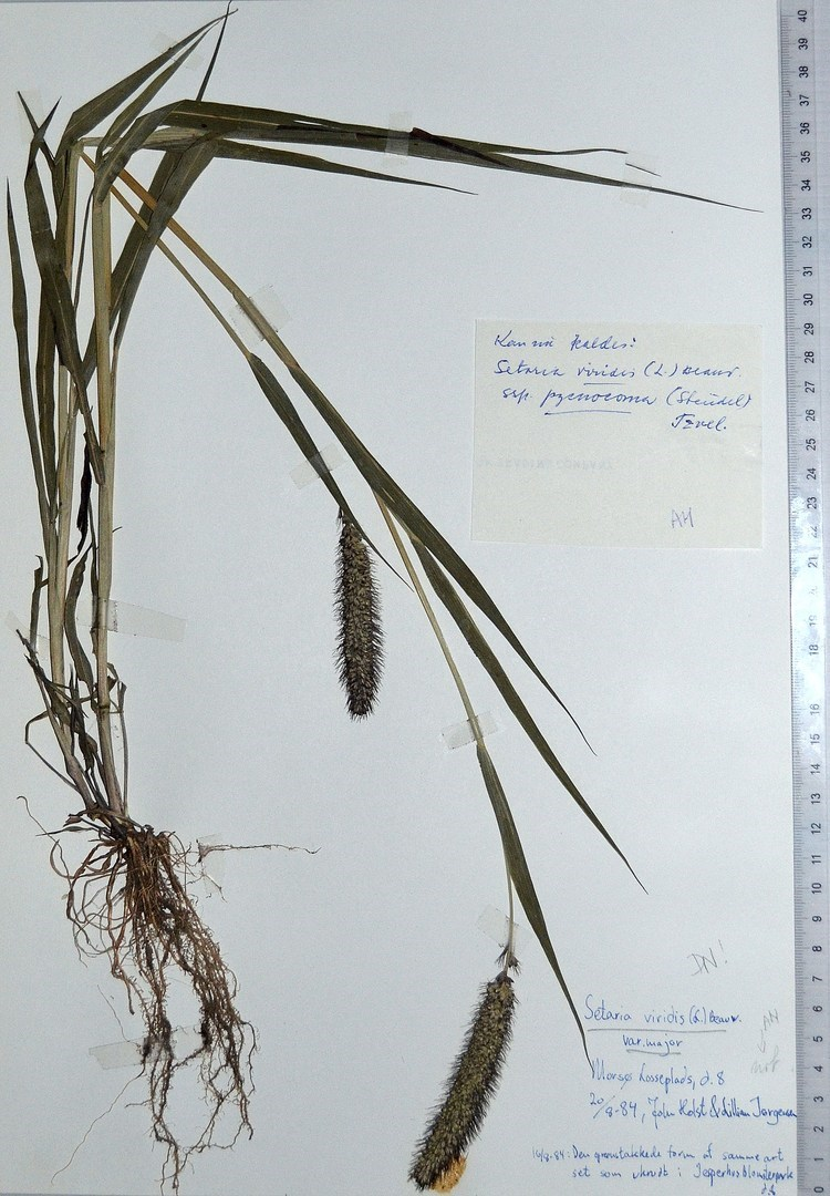 Stor Skærmaks (Setaria viridis var. major)