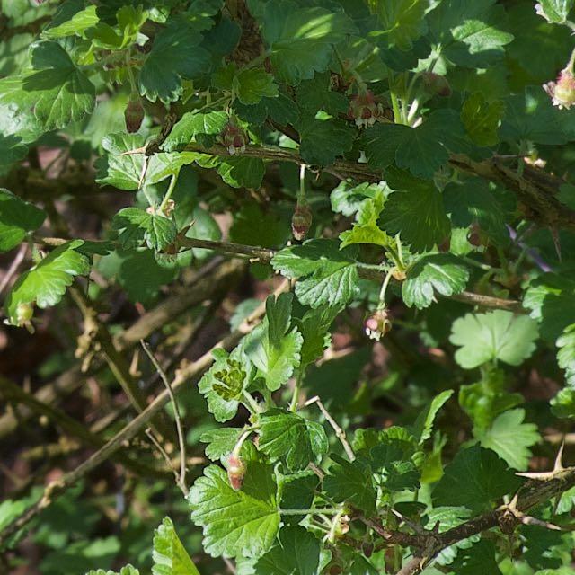 Foto/billede af Stikkelsbær (Ribes uva-crispa)