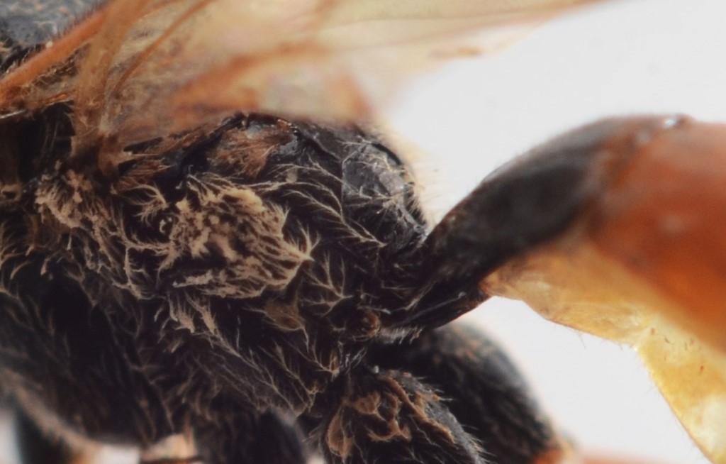 Tryphon trochanteratus