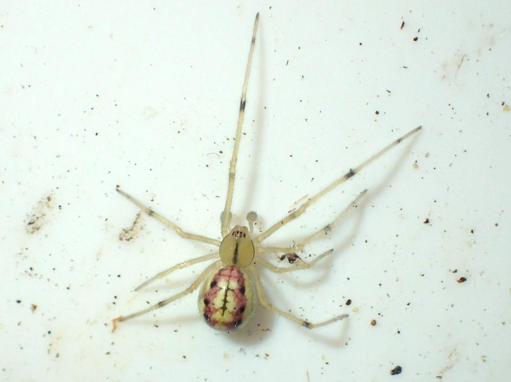 Perleedderkop sp. (Enoplognatha ovata/ E. latimana)