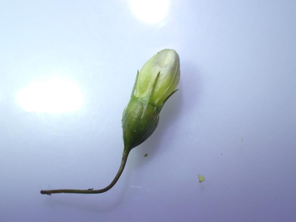 Miarus campanulae