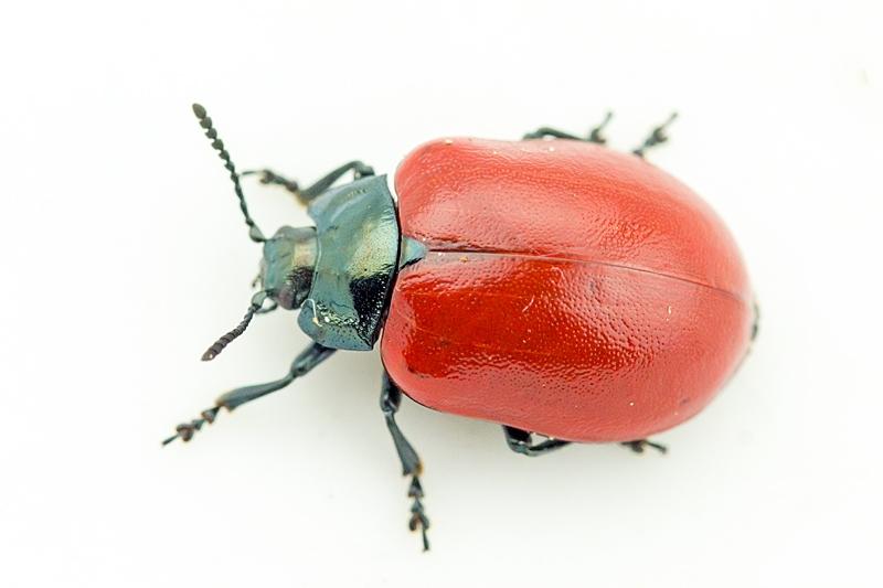 Foto/billede af Poppelbladbille (Chrysomela populi)