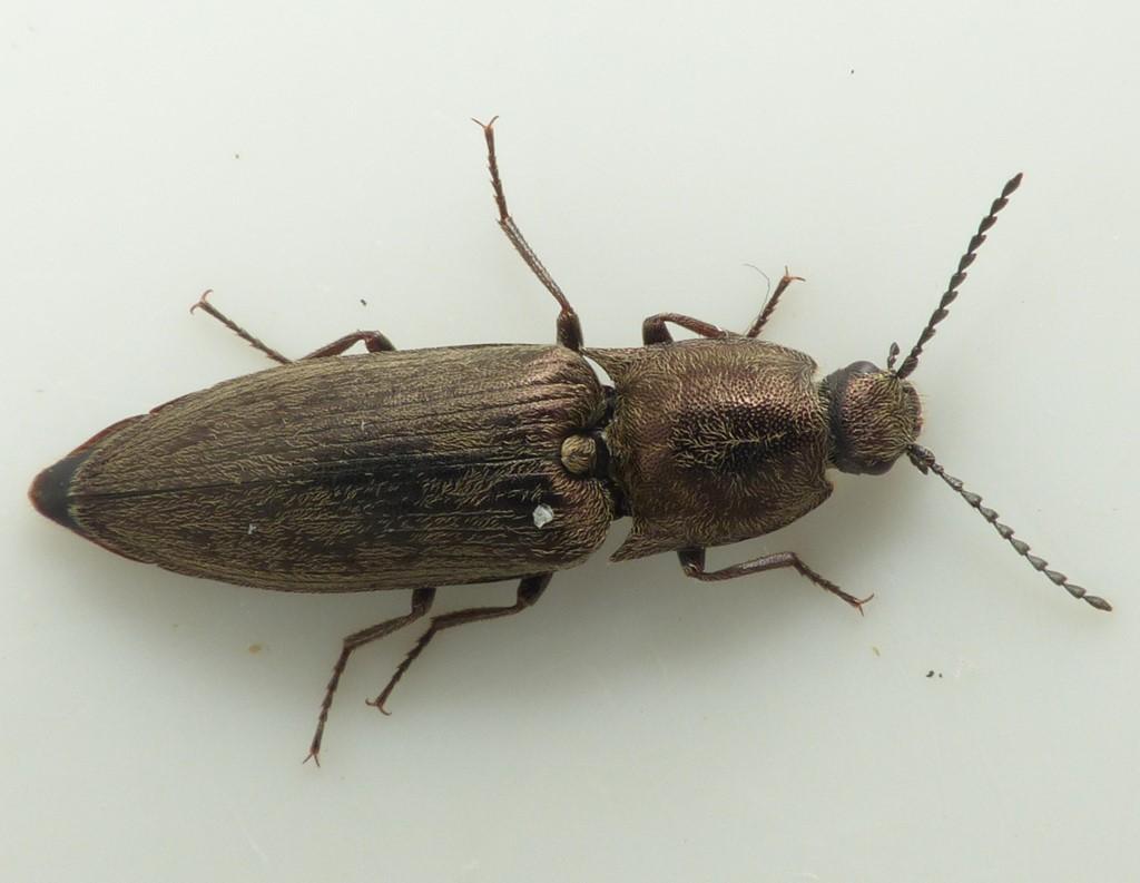 Foto/billede af Actenicerus sjaelandicus (Actenicerus sjaelandicus)