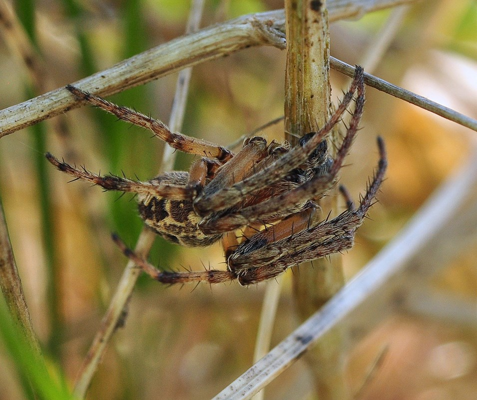 Sivhjulspinder (Larinioides cornutus)