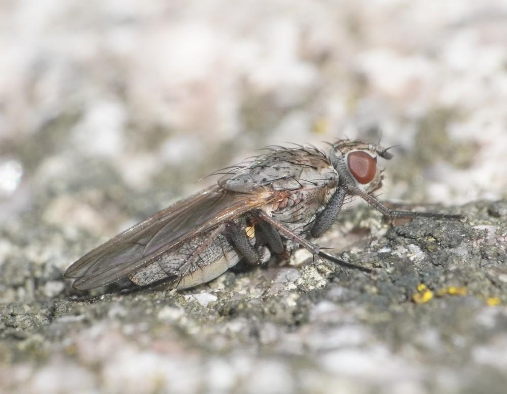Fucellia tergina (Fucellia tergina)