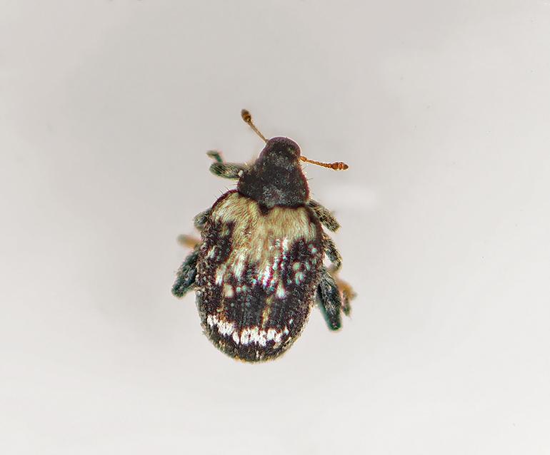 Foto/billede af Orchestes signifer (Orchestes signifer)