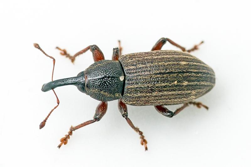 Tournotaris bimaculatus
