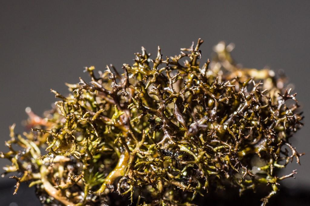 Foto/billede af Tue-Tjørnelav (Cetraria muricata)
