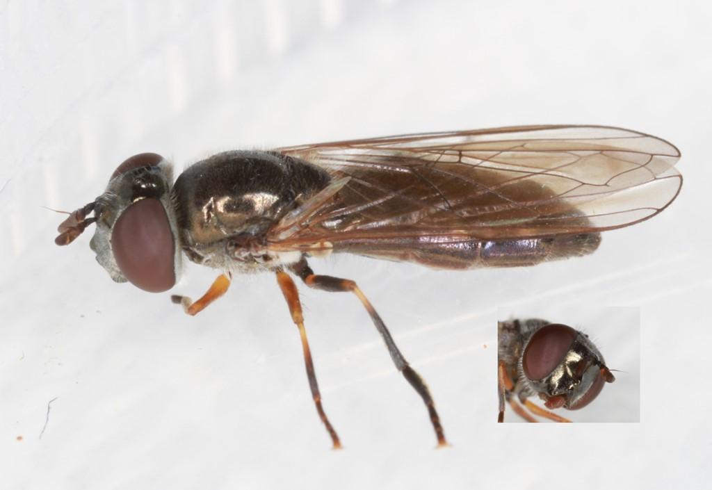 Almindelig Græssvirreflue (Melanostoma mellinum)