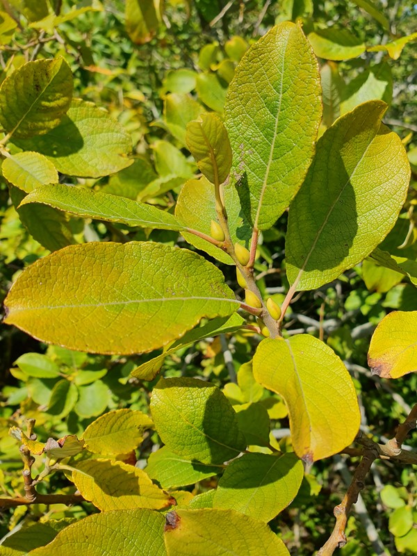 Selje-Pil (Salix caprea)