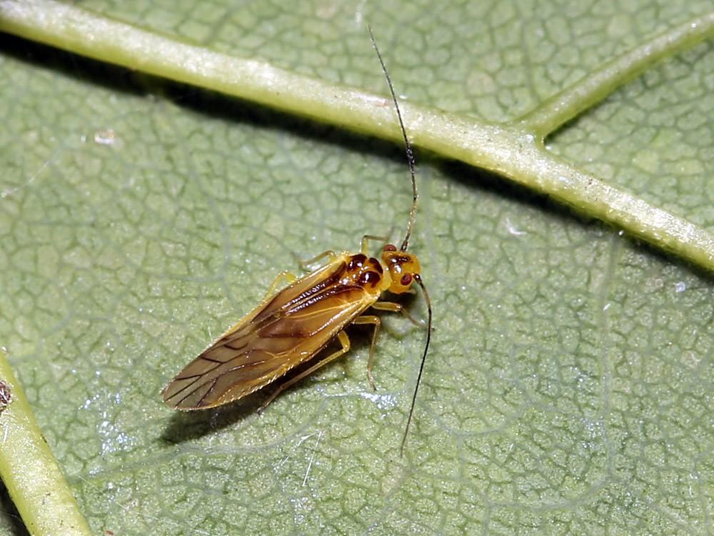 Foto/billede af Valenzuela flavidus (Valenzuela flavidus)