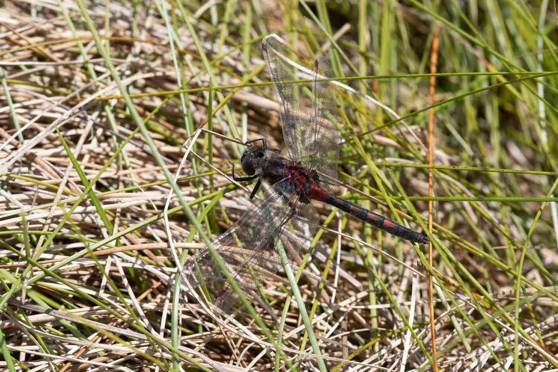 Nordisk Kærguldsmed (Leucorrhinia rubicunda)