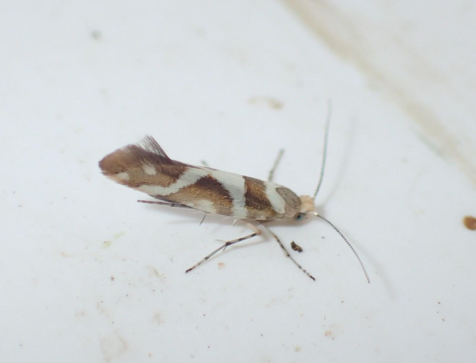 Elleraklemøl (Argyresthia goedartella)