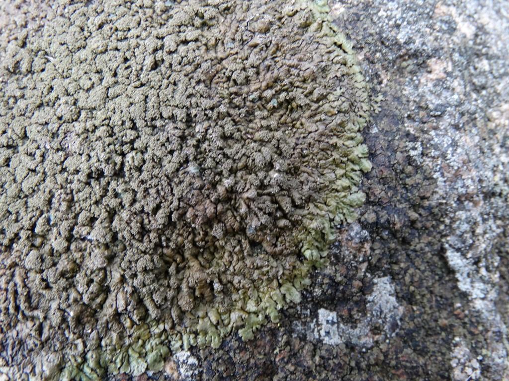 Foto/billede af Småknoppet Skållav (Xanthoparmelia verruculifera)