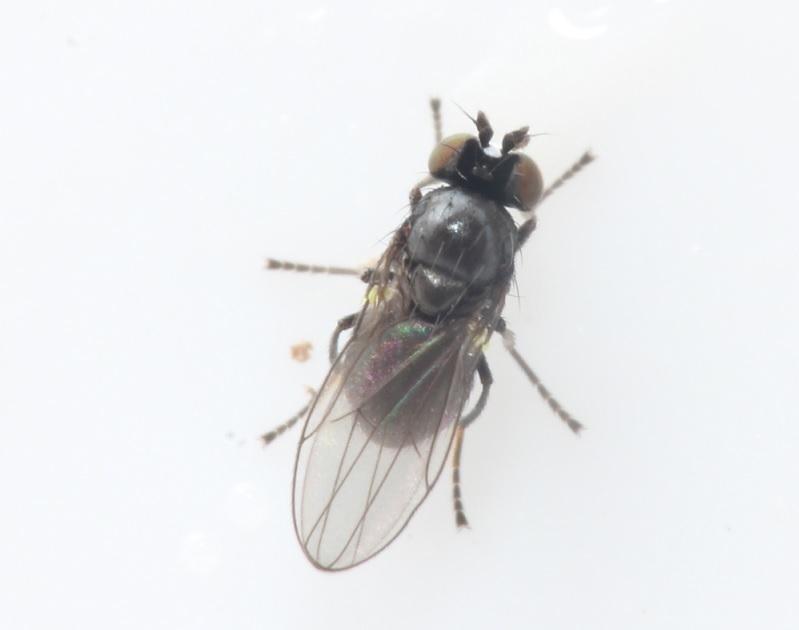 Hydrellia sp. (Hydrellia sp.)