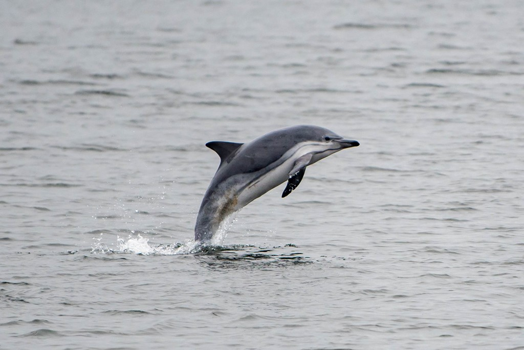 Almindelig Delfin (Delphinus delphis)