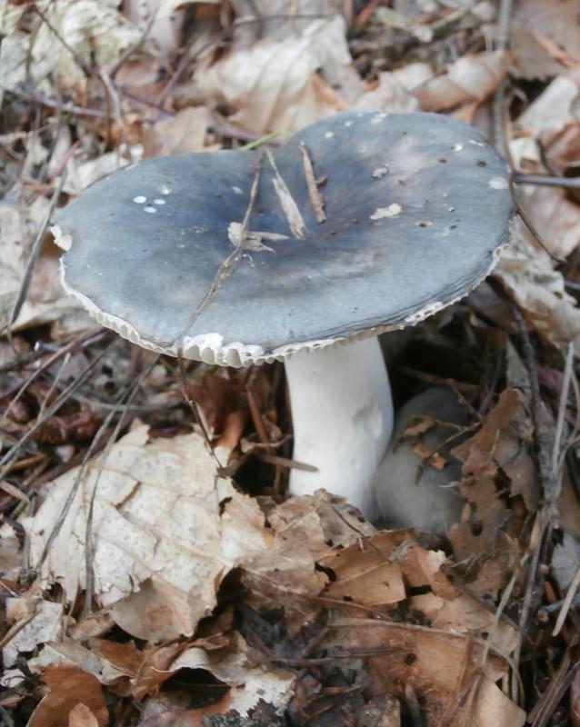Foto/billede af Broget Skørhat (Russula cyanoxantha)