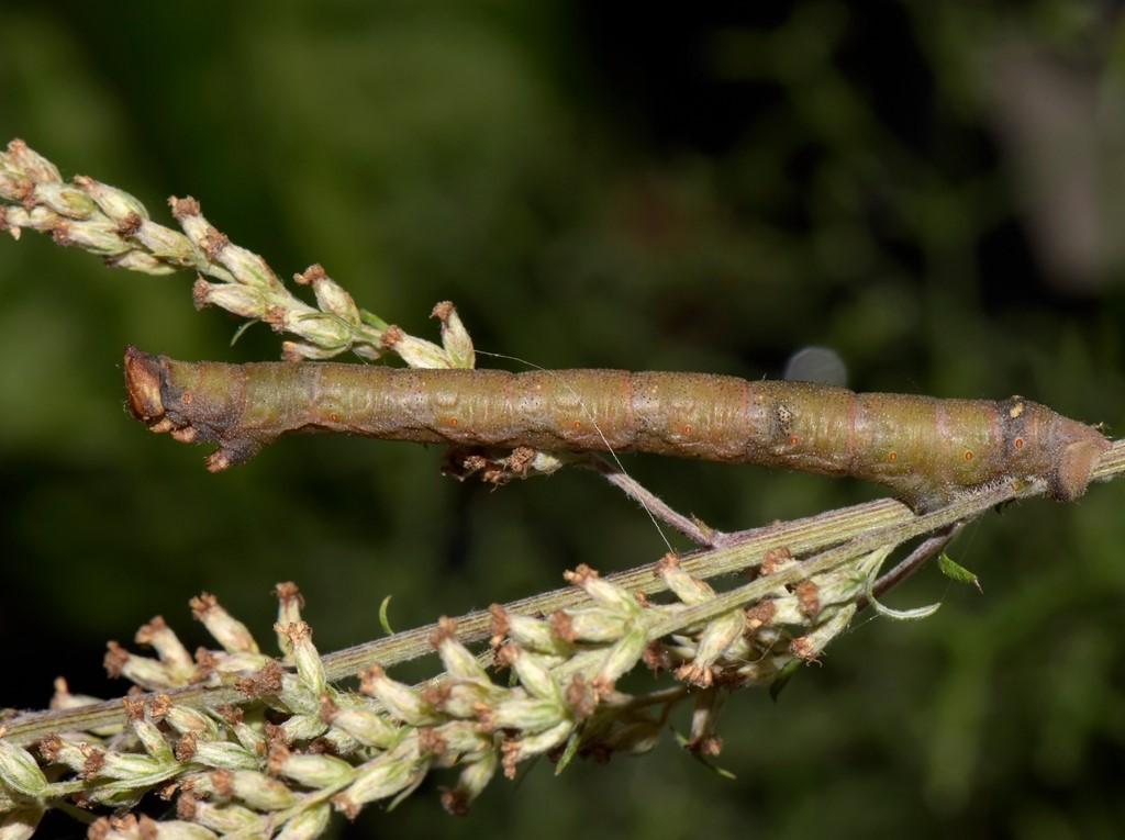 Foto/billede af Birkemåler (Biston betularia)
