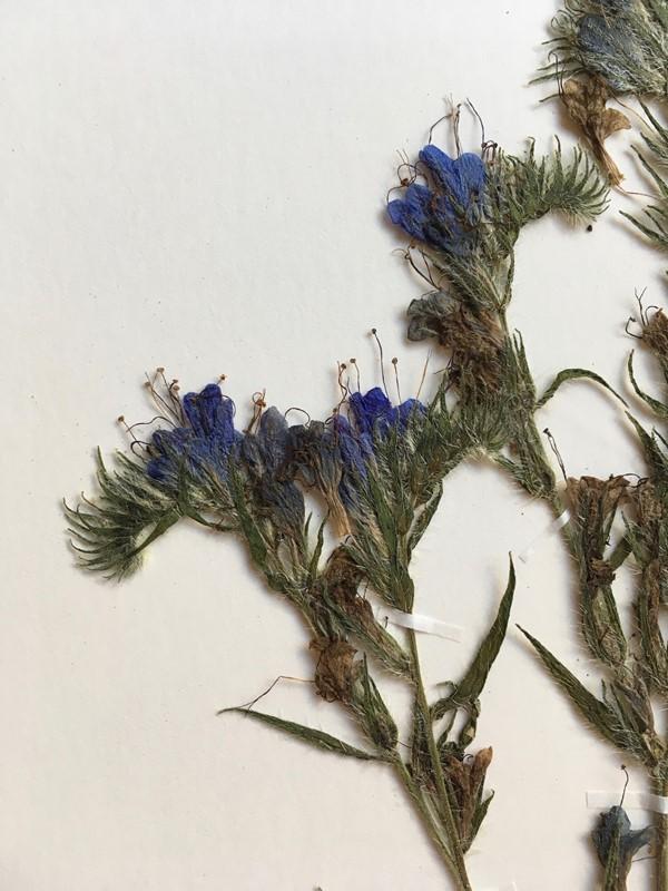 Foto/billede af Slangehoved (Echium vulgare)