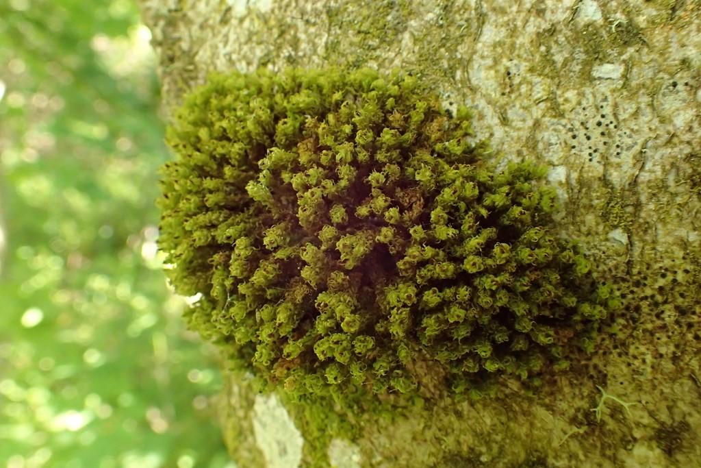 Foto/billede af Stor Låddenhætte (Ulota phyllantha)