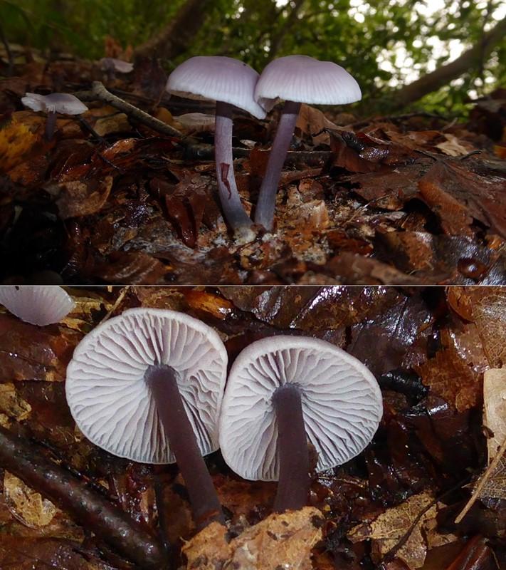 Foto/billede af Skær Huesvamp (Mycena pura)