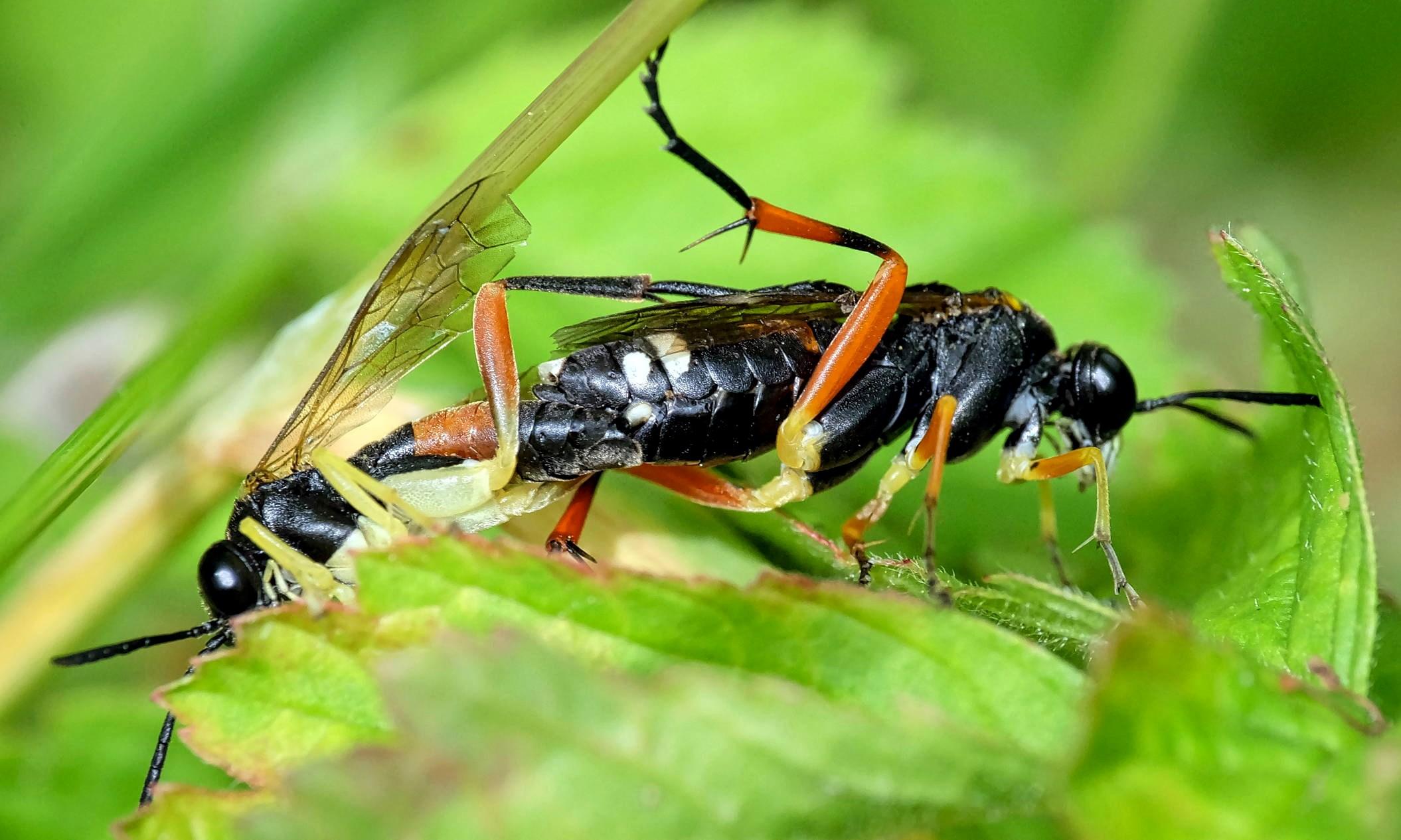 Macrophya rufipes (Macrophya rufipes)