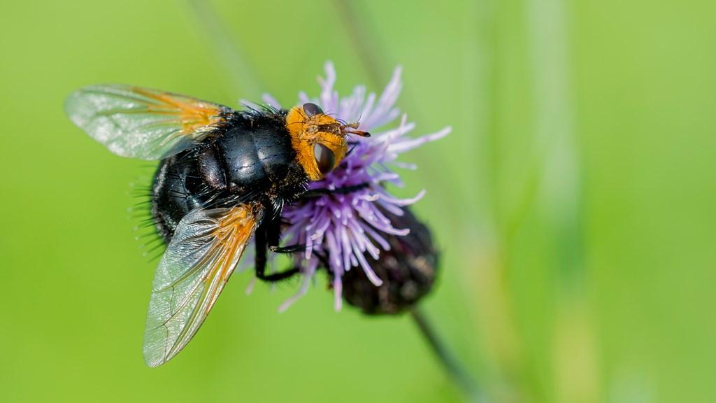Kæmpefluen Harald (Tachina grossa)