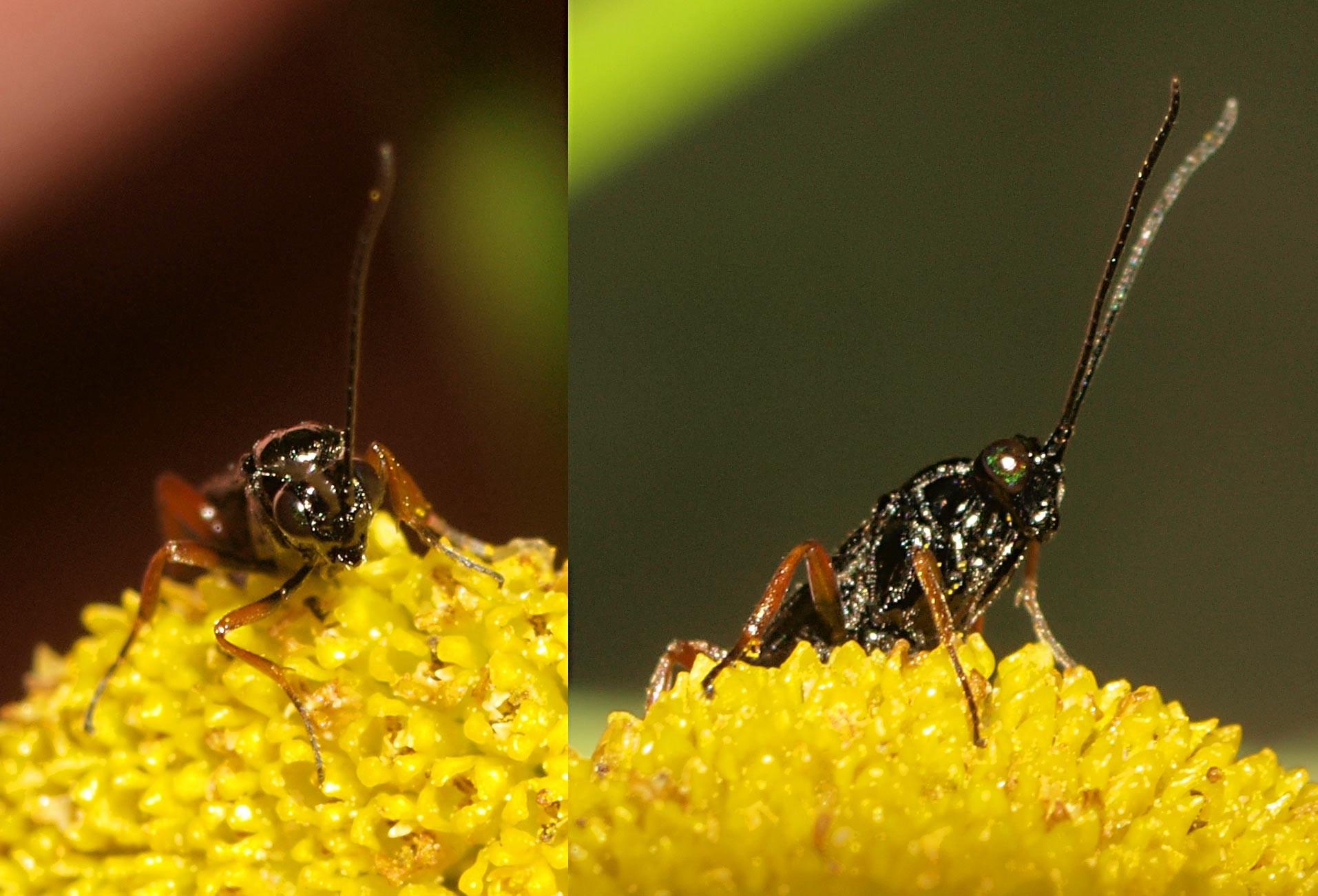 Agathis nigra