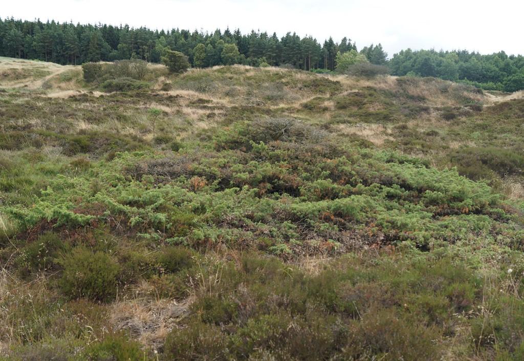 Ene (Juniperus communis)