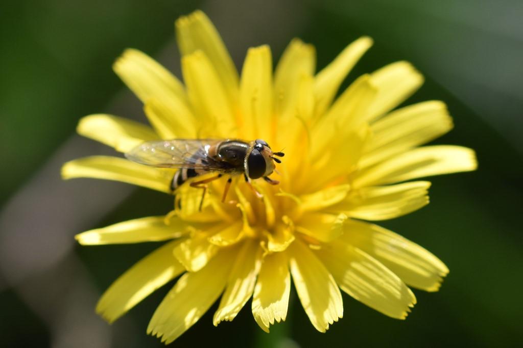 Almindelig Marksvirreflue (Eupeodes corollae)