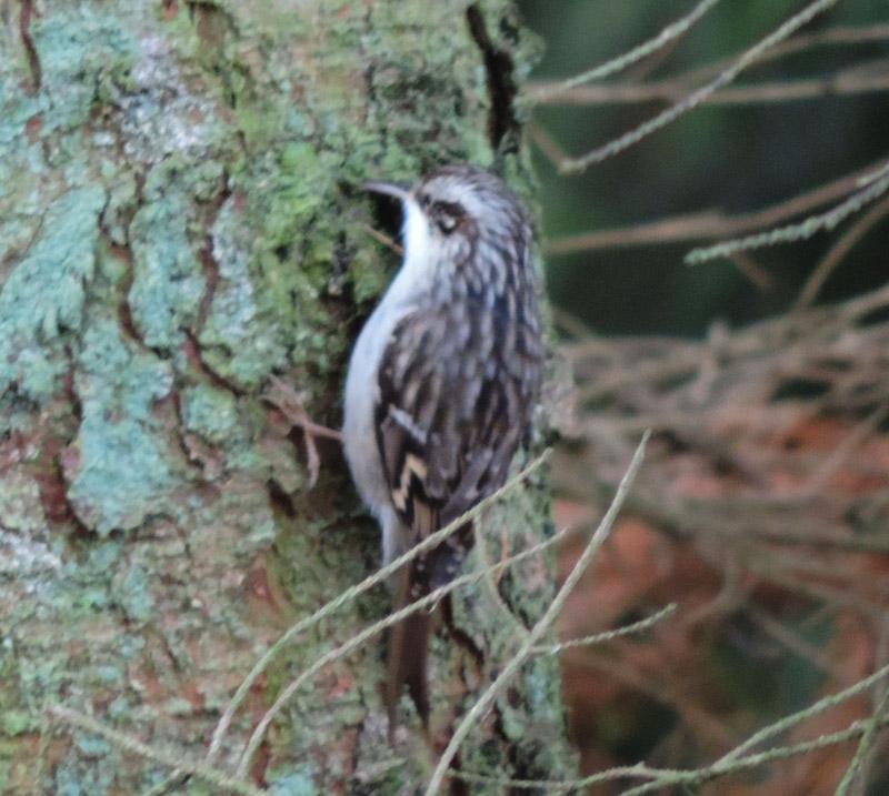 Foto/billede af Træløber/Korttået Træløber (Certhia familiaris/brachydactyla)