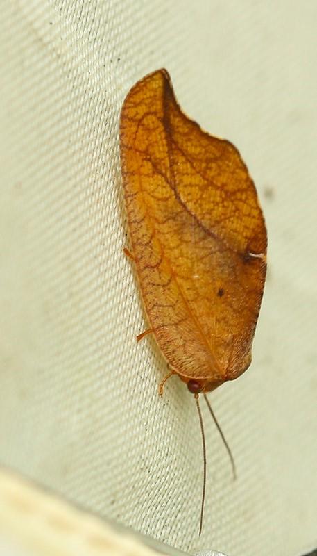 Foto/billede af Det visne blad (Drepanepteryx phalaenoides)