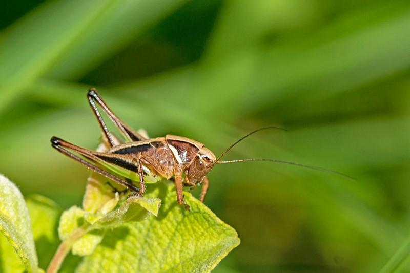 Foto/billede af Hedegræshoppe (Metrioptera brachyptera)