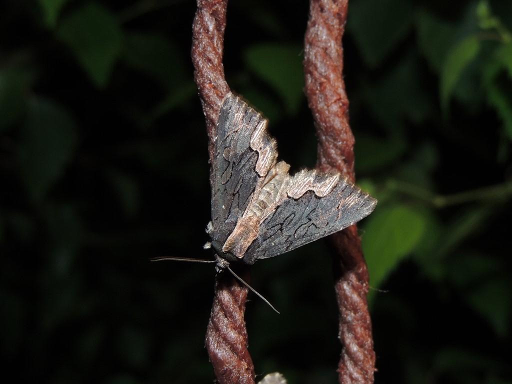 Mørk Skræppeugle (Dypterygia scabriuscula)