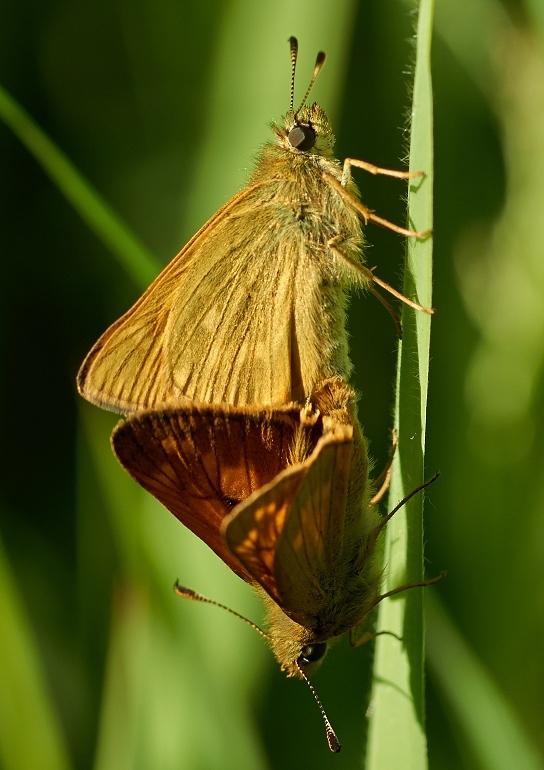 Stor Bredpande (Ochlodes sylvanus)