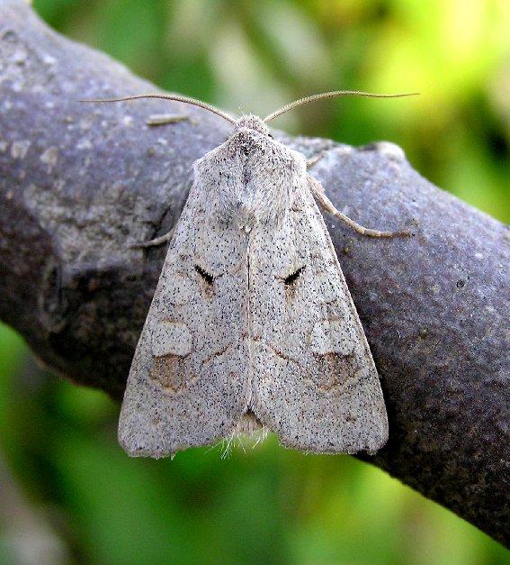 Foto/billede af Lådden Ugle (Ammoconia caecimacula)