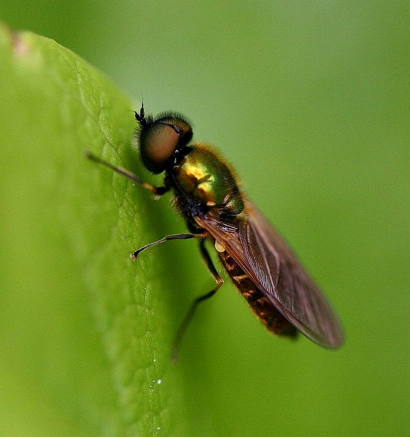 Foto/billede af Grøn Våbenflue (Chloromyia formosa)