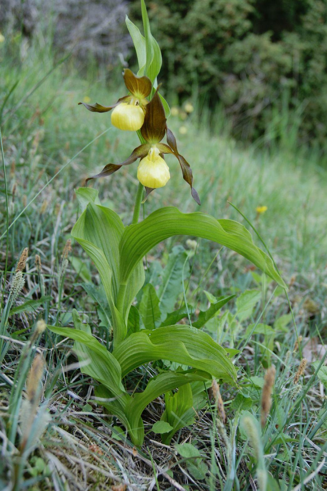 Fruesko (Cypripedium calceolus)
