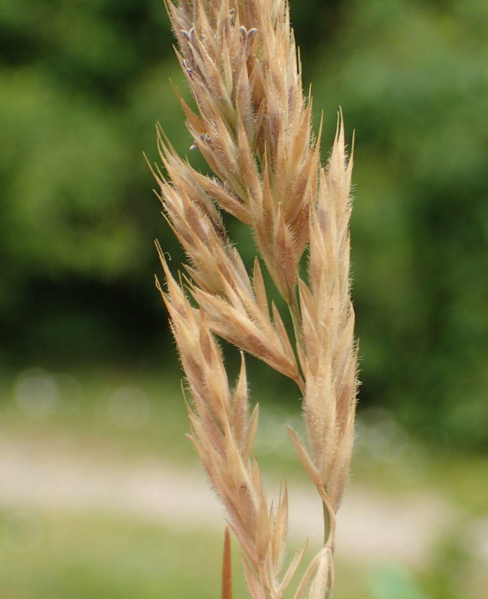 Klit-Svingel (Festuca arenaria)